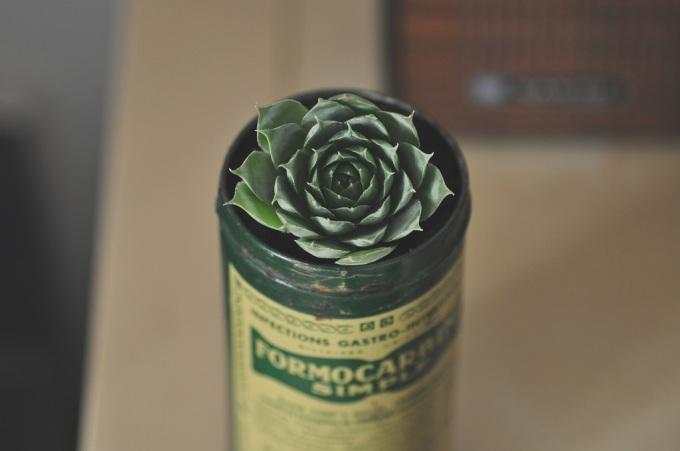 miss thelma- succulentes